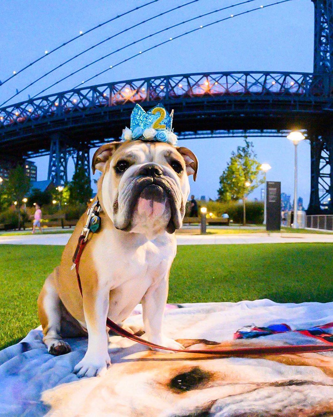 Hendrix English Bulldog 2 Y O Domino Park Brooklyn Ny He Just Turned Two He Has Many Fears Loud English Bulldog Dogs Animal Shelter