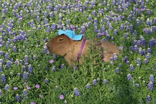 Now here are three pictures of a capybara wearing a blue bonnett doing a little gardening: | After Looking At These Photos You Will DEFINITELY Want A Capybara