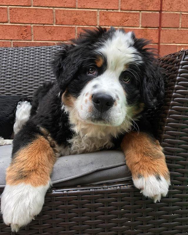 Why do my hoomans have to work? #bernesepuppy #bernese #bernesemountaindog #bernesedaily #puppy #bmd #bernese_feature #berner #babybernese