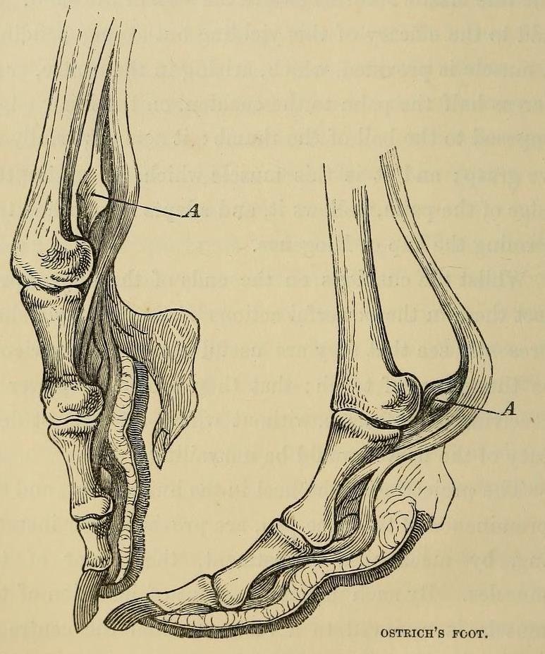 """biomedicalephemera: """" Ostrich feet. Unlike the flighted birds ..."""