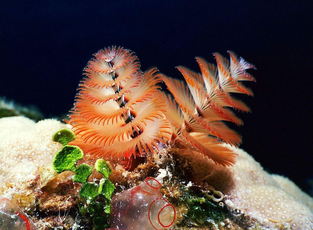 Scuba Diving Aquacat 2004 Christmas Tree Worm Closeup