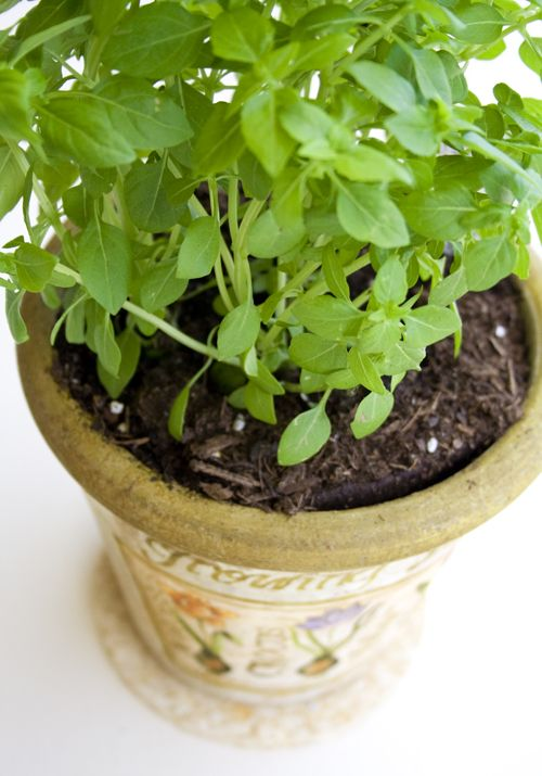 Growing Boxwood Basil Indoors Basil Plant Herbs Basil
