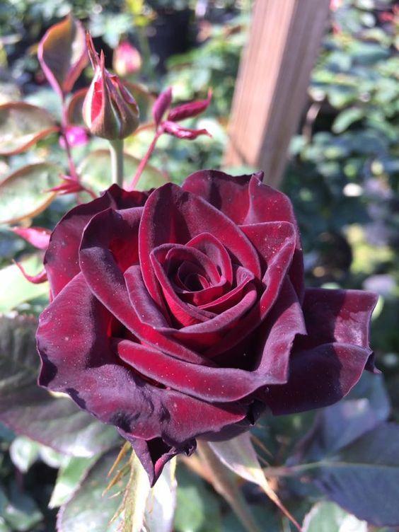 Rosier Black BACCARA ® Meidebenne | Variétés de roses ...