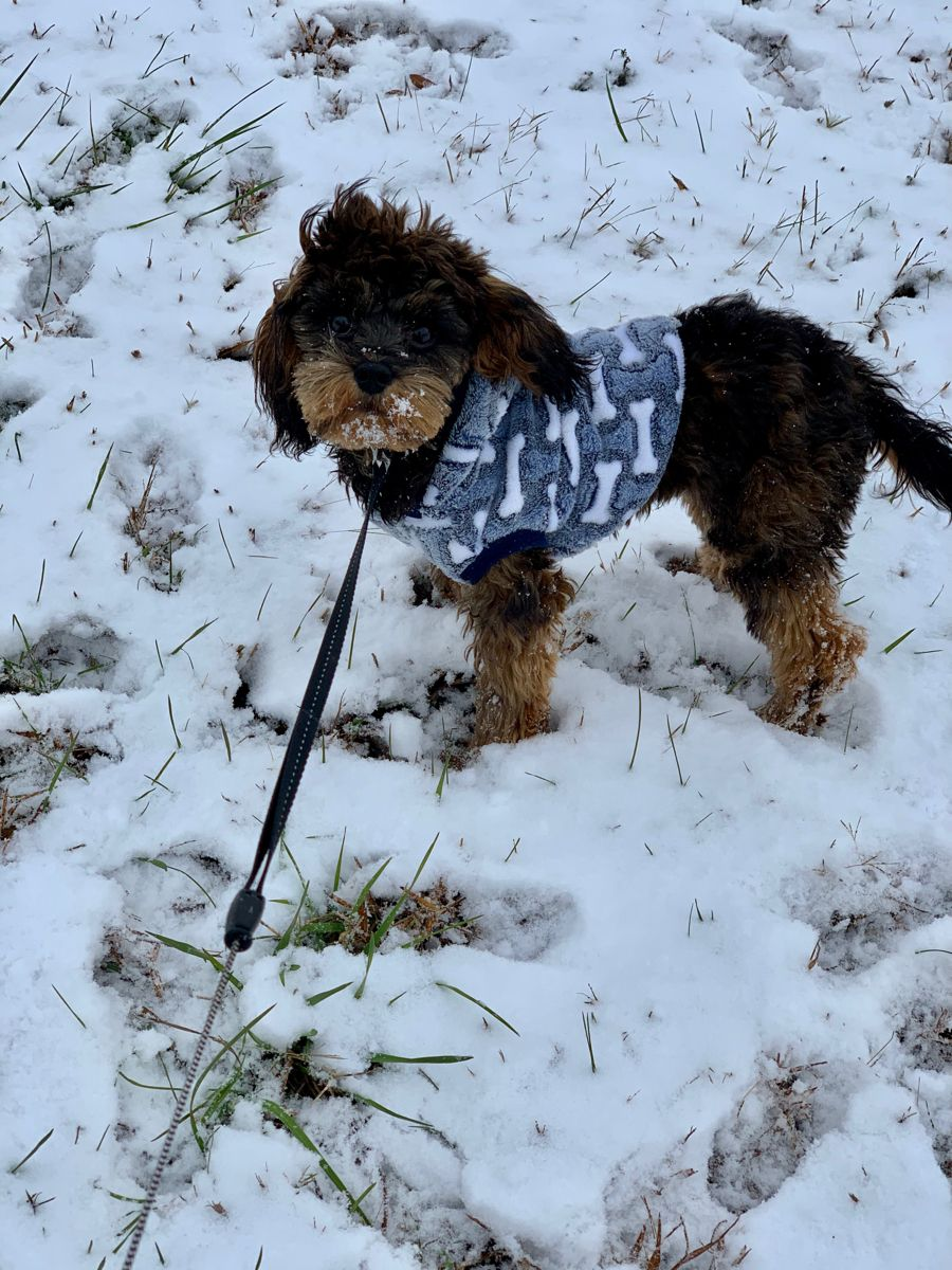 Snow Cavapoo Outfit Puppy Dog Winter Christmas Dog Ootd Cavapoopuppy Cavapoo Cavapoochon Cavapoo Puppies