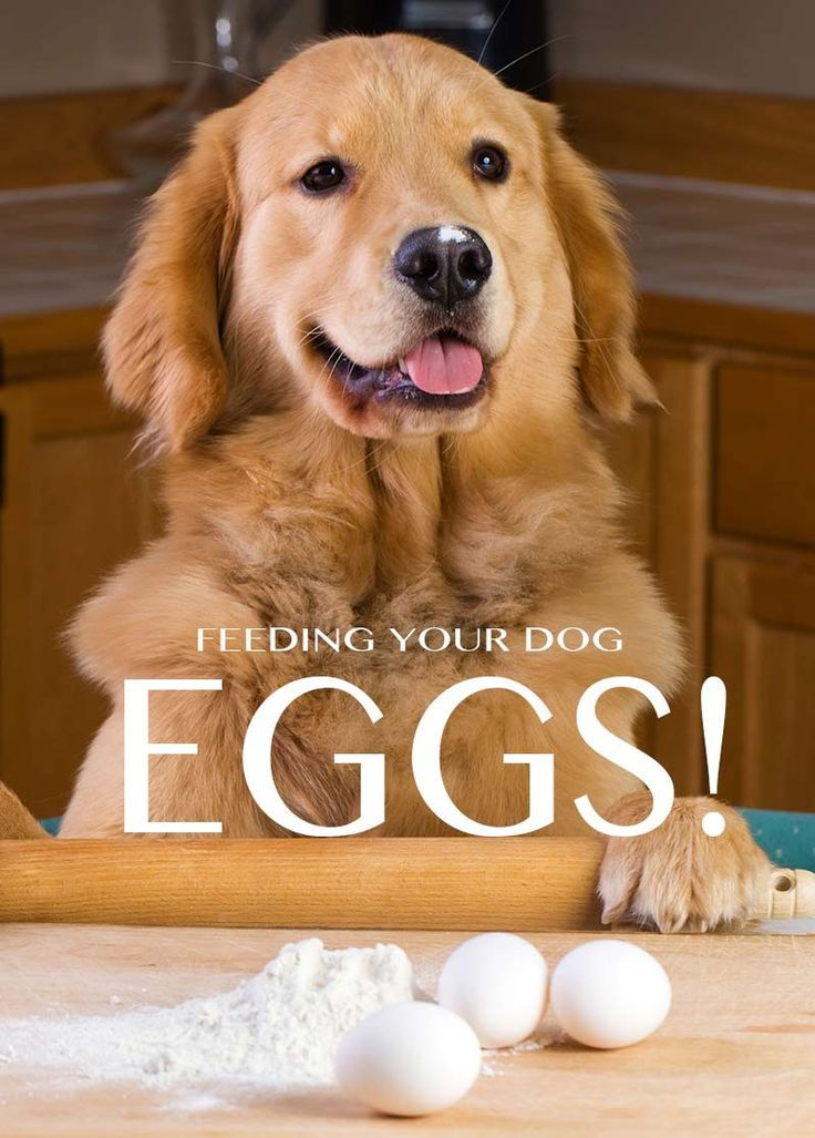 Can Dogs Eat Eggs A Complete Guide To Safely Feeding Egg To Dogs