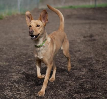 Meet Coyote, an adoptable Shepherd looking for a forever home. If you're looking for a new pet to adopt or want information on how to get involved with adoptable pets, Petfinder.com is a great resource.