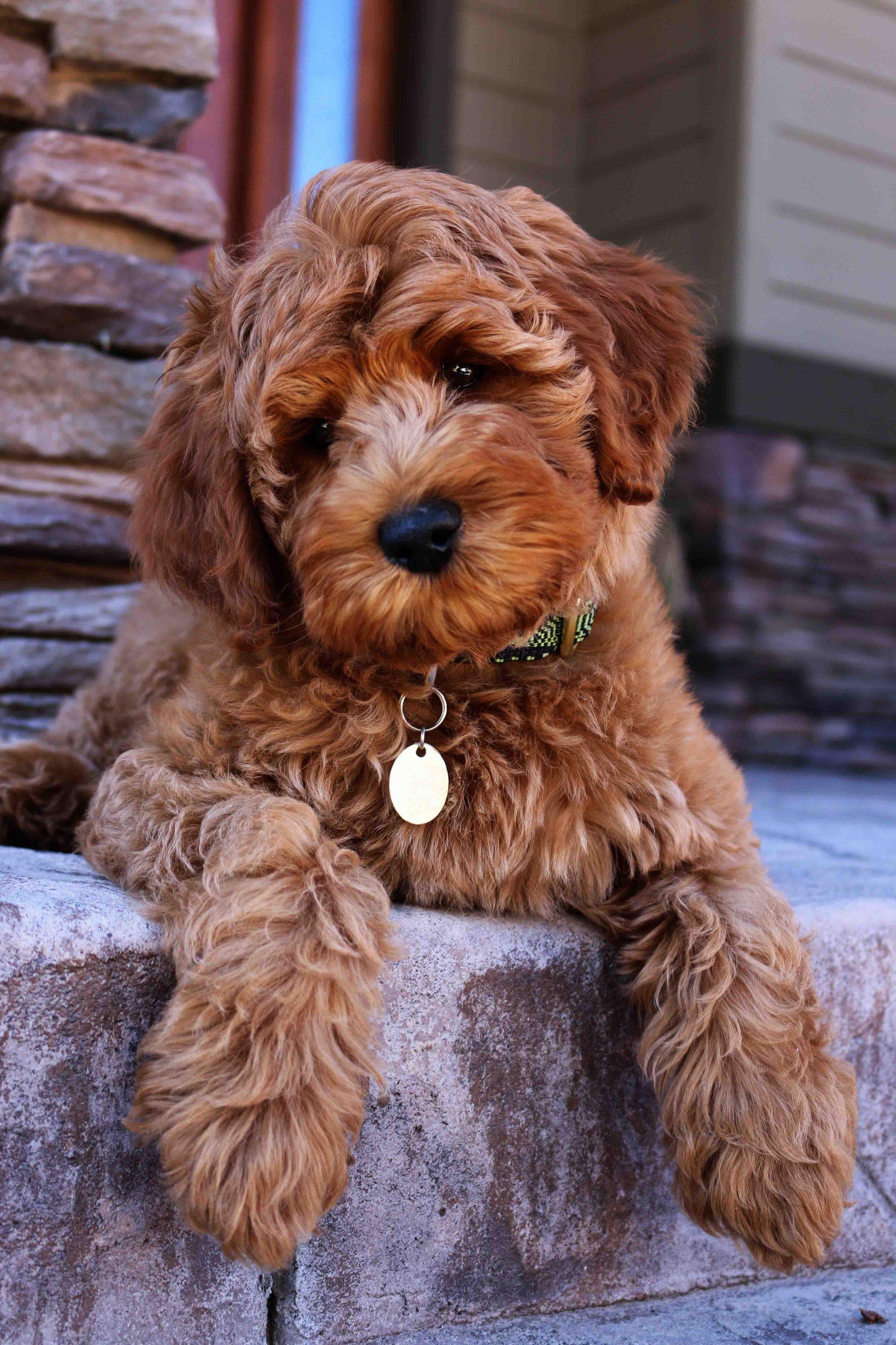 labradoodle puppy adoption