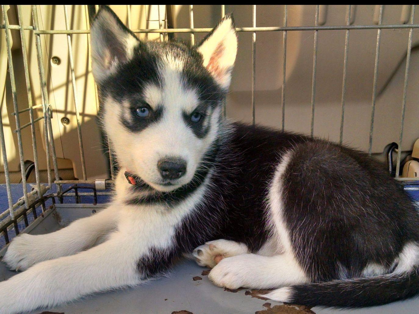 Pin by Rebecca Slevin on Pups❤ ❤ ❤ ❤ | Pinterest | Siberian Husky Puppies Boston Ma