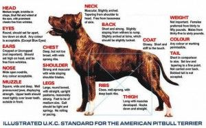 Pin On Breed Standards American Pit Bull Terrier