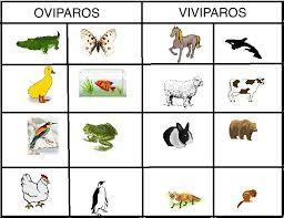 Resultado De Imagen Para Imagenes De Animales Viviparos Para