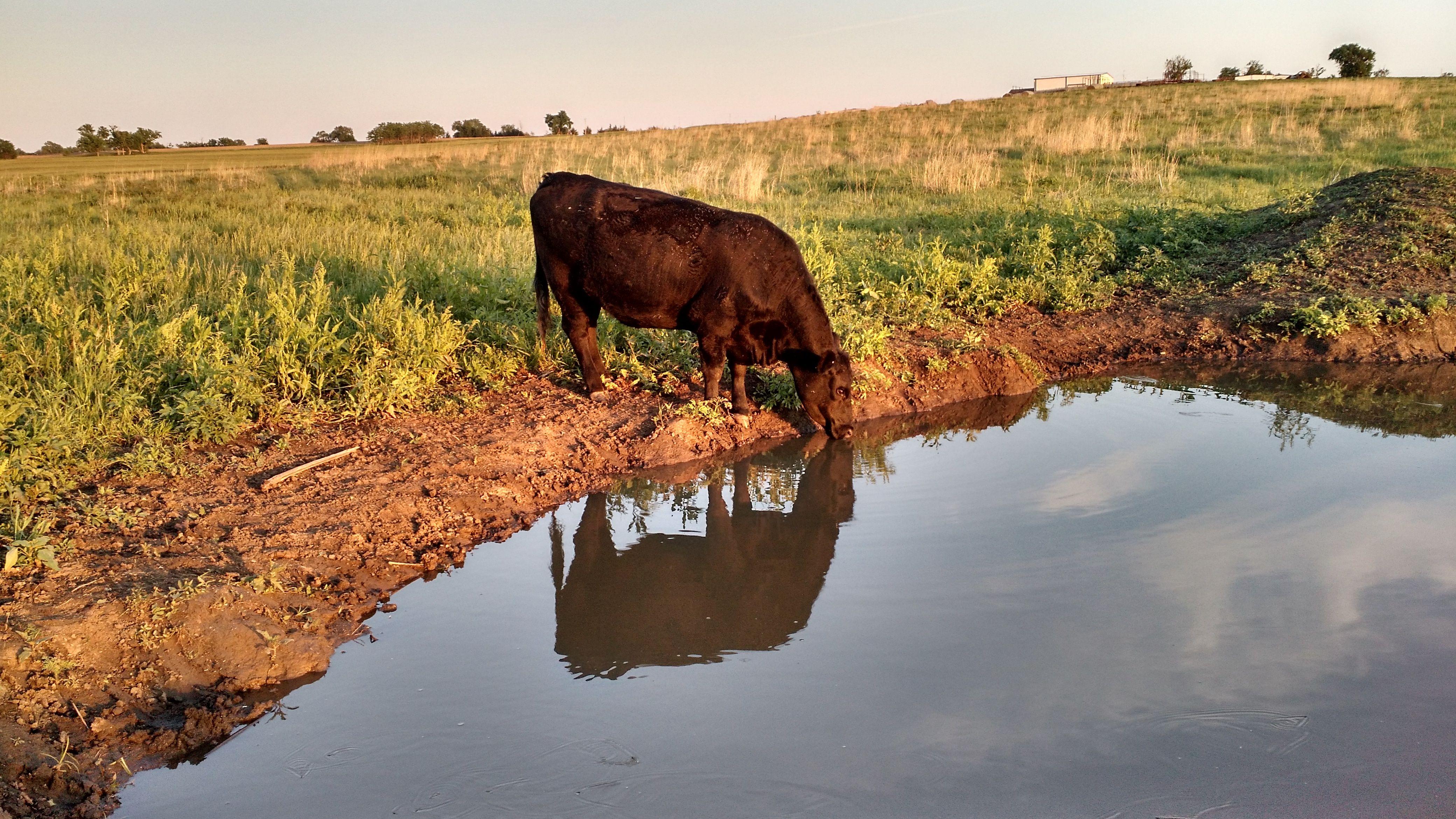 """""""Cow Reflection"""" Dickinson County, Kansas Spring photos"""