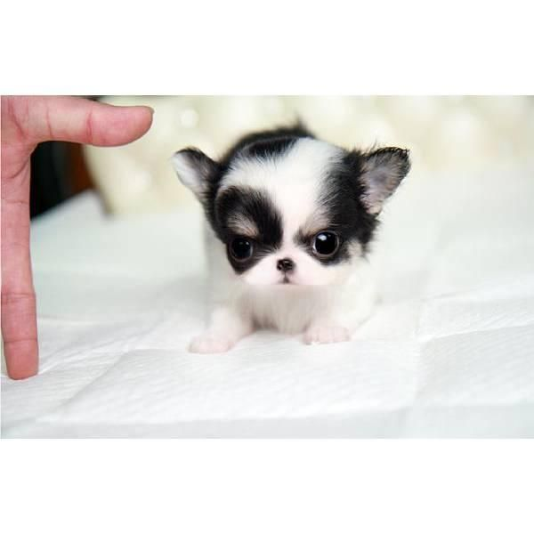 Top 6 Of The Most Popular Teacup Puppies Breed Today Chihuahua