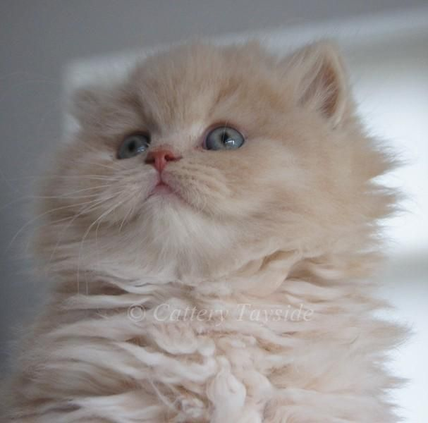 Highland Straight Kitten Cattery Tayside The Netherlands Cute Cats Kittens Beautiful Cats