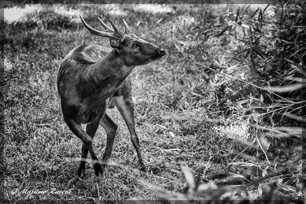 Cervo maculato delle Visayas  - Cervus alfredi - Rusa alfredi - Visayan spotted deer