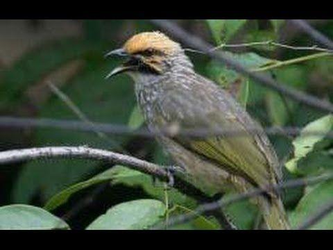 Cucak Rowo Juara Nasional Cucak Rowo Juara Cucak Rowo Gacor Master Ropel Gacor Juara Kicau Burung Https Www Youtube Com Watch Best Video Ever Cool Gifs Birds