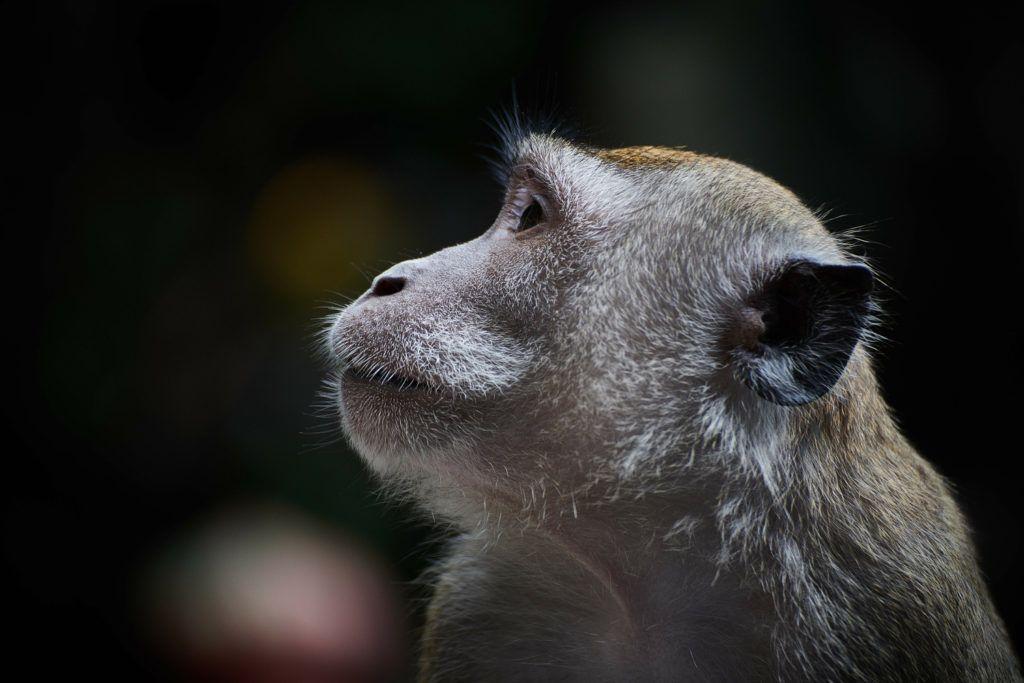 The Year of the Monkey Khmer New Year 2016 Pet monkey