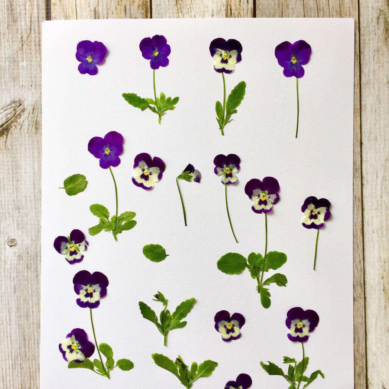 Violas Freshly Pressed In The Microfleur Microwave Flower Press