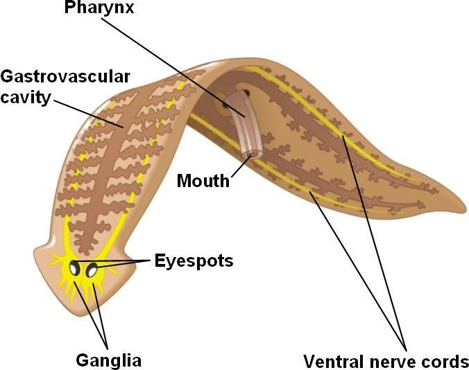 Another diagram of phylum platyhelminthes phylum platyhelminthes another diagram of phylum platyhelminthes ccuart Choice Image