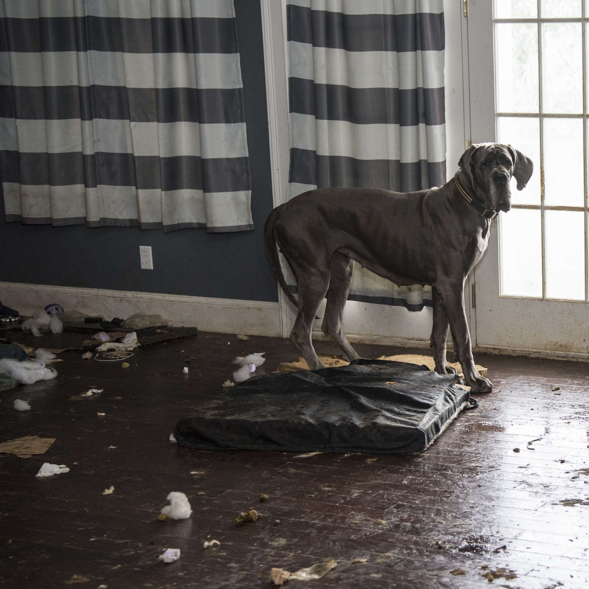 Great Dane Rescued From Nightmare Mansion Has A Totally Different