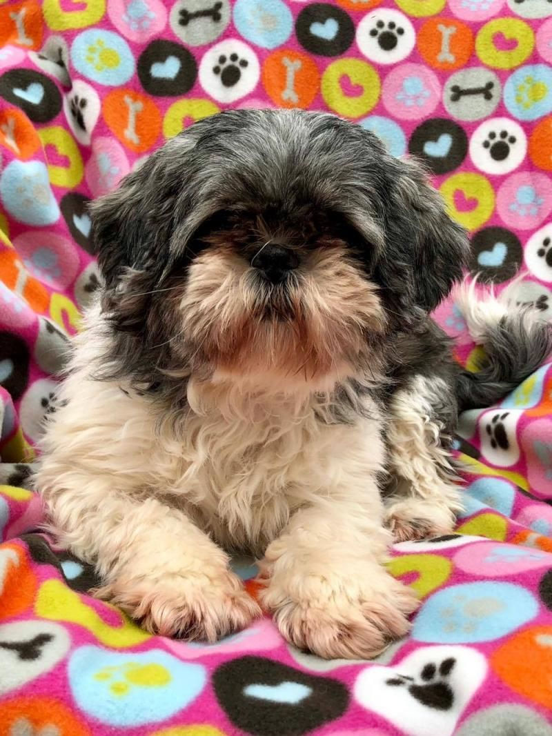 Adopt Raisin Toast On Shih Tzu Pets Dog Adoption