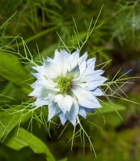 Seeds For Magick Herbs And Pagan Gardens Planting Flowers Plants Nigella