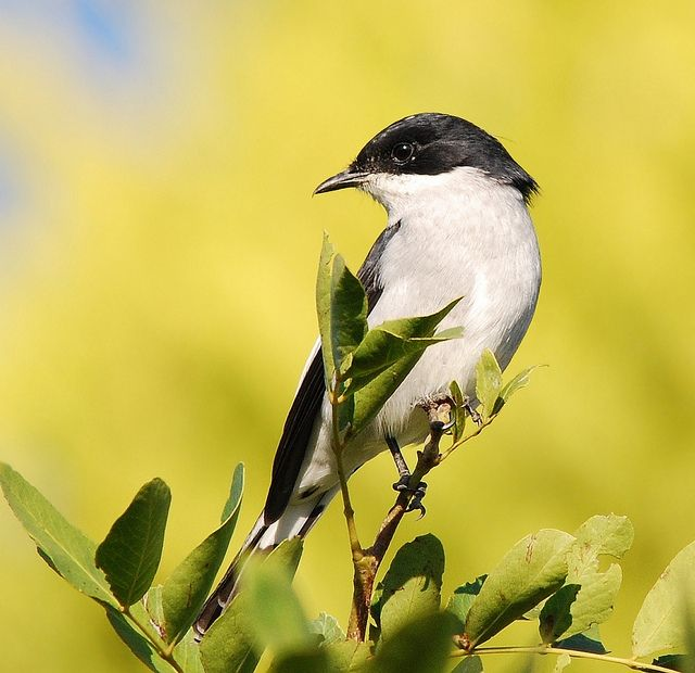 Fiscal flycatcher by anacm.silva, via Flickr