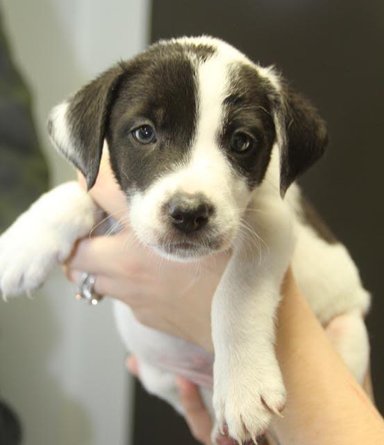Adopt Clancey Deaf Puppy Adoption Pending On Puppy Adoption Dogs Up For Adoption Adoption