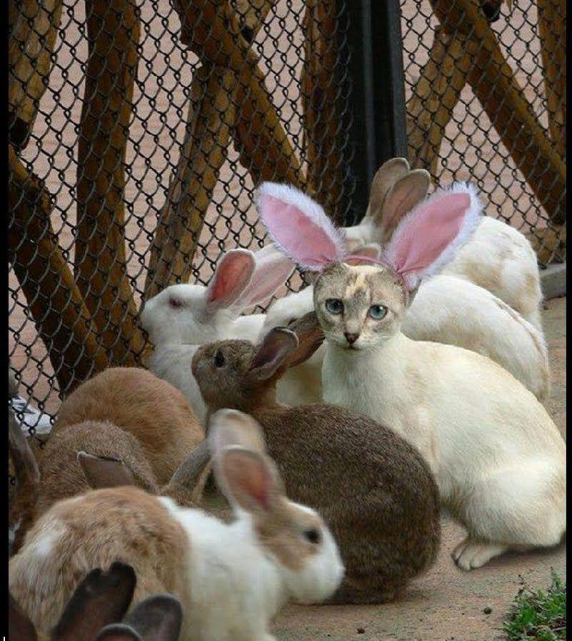 Chat incognito parmi des lapins