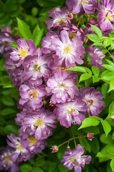 Veilchenblau Rambler Rose Crocus Uk