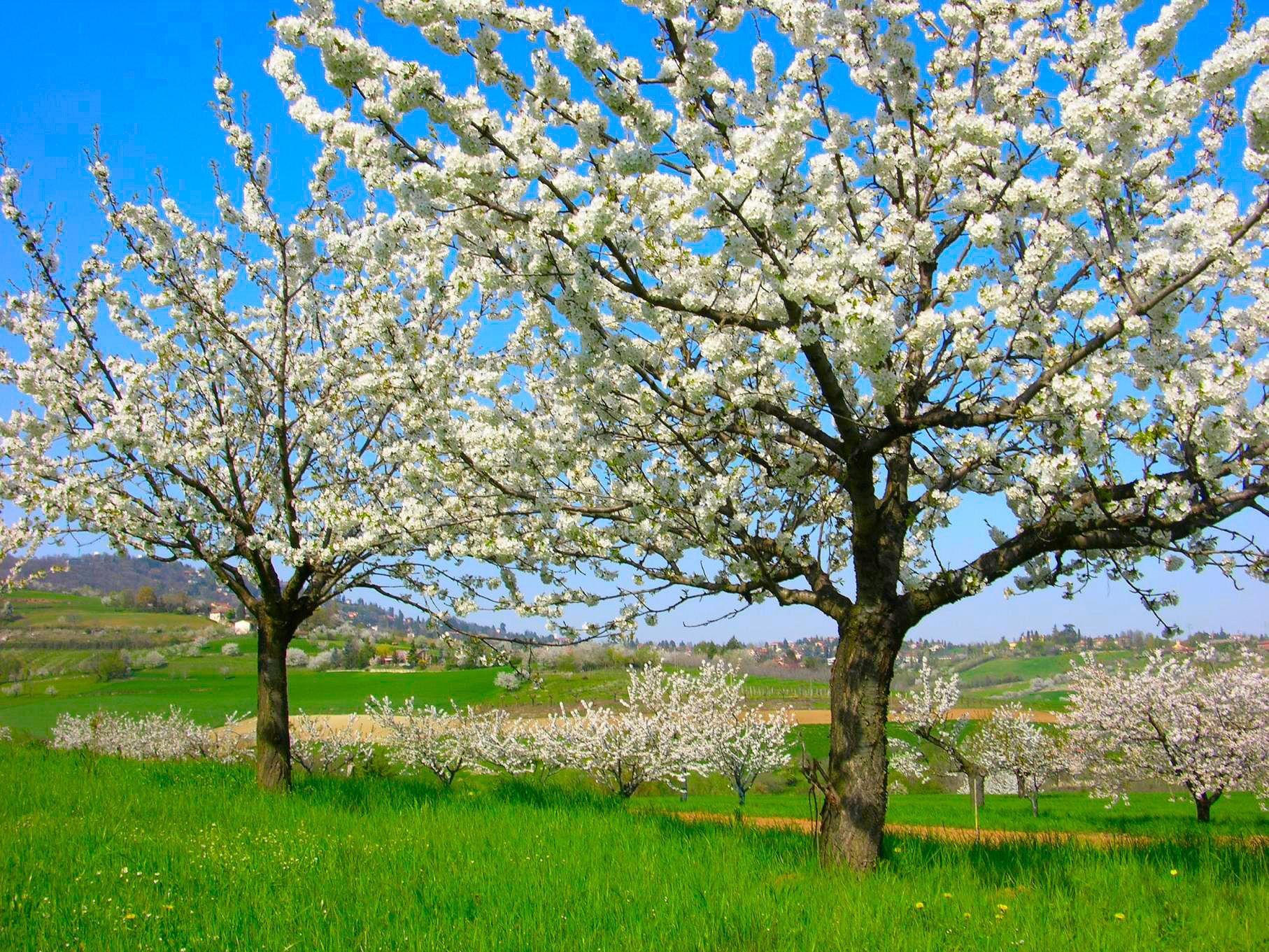 cherry-tree-e.jpg 1814×1361 pixels
