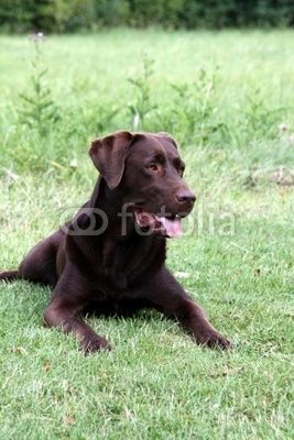 Brauner Labrador Labrador Retriever Dogs Labrador