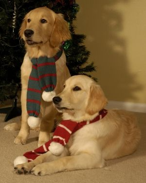 Pin By Marcia Snapp On Sweet Goldens Christmas Dog Merry