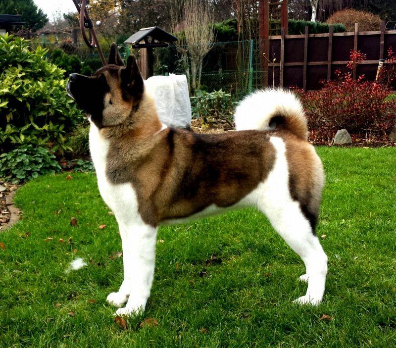 Verein Fur Den Akita Den American Akita Akita Dog Hund