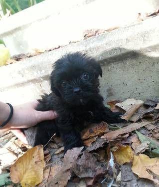 Pin By Cathy Denardo Feldmann On Yorkies Shorkie Puppies Puppies Yorkie