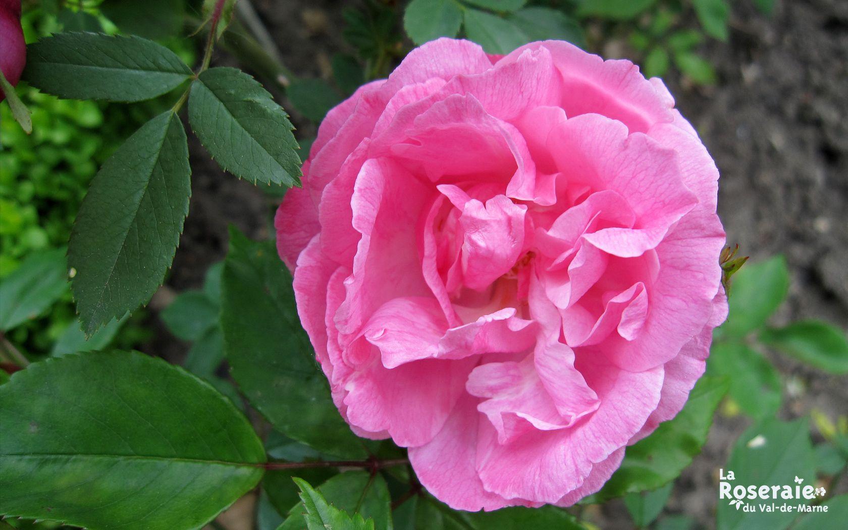 Old Bush est un gracieux buisson au port dressé, fleurisant de mai jusqu'aux gelées en légers bouquets de fleurs moyennes, semi-doubles, rose argenté, nuancé de rose plus vif. Le nom de 'Old Blush', fait référence à la couleur de la rose, semblable à une joue rougissante. Cette rose légèrement parfumée, relativement résistante aux maladies, est l'une des premières roses remontantes introduites en Occident.  Chinensis. Hybrideur inconnu, 1793.