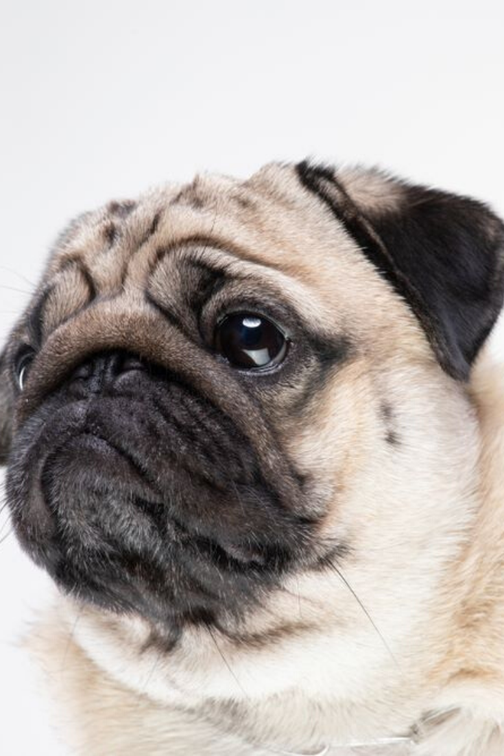 Dog Pug Breed Smile With Happiness Feeling So Funny And Making Serious Face Isolated On White Background Purebred Pug Dog Healthy Concept Pugs Pug Dog Dogs