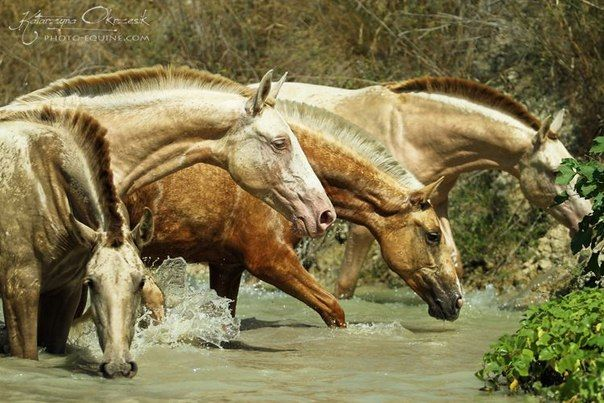 Andalusians in the pond #horses