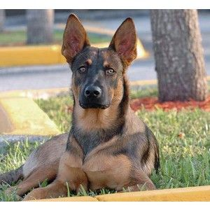 Roarke The Belgian Malinois Mix Dogs Daily Puppy Polyvore