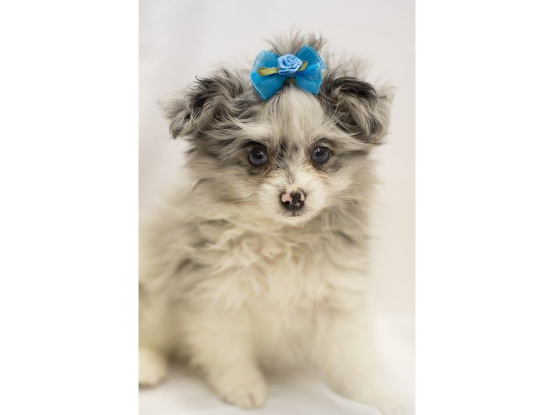 Checkout this cute Toy Pompoo (#10369) at Petland Wichita