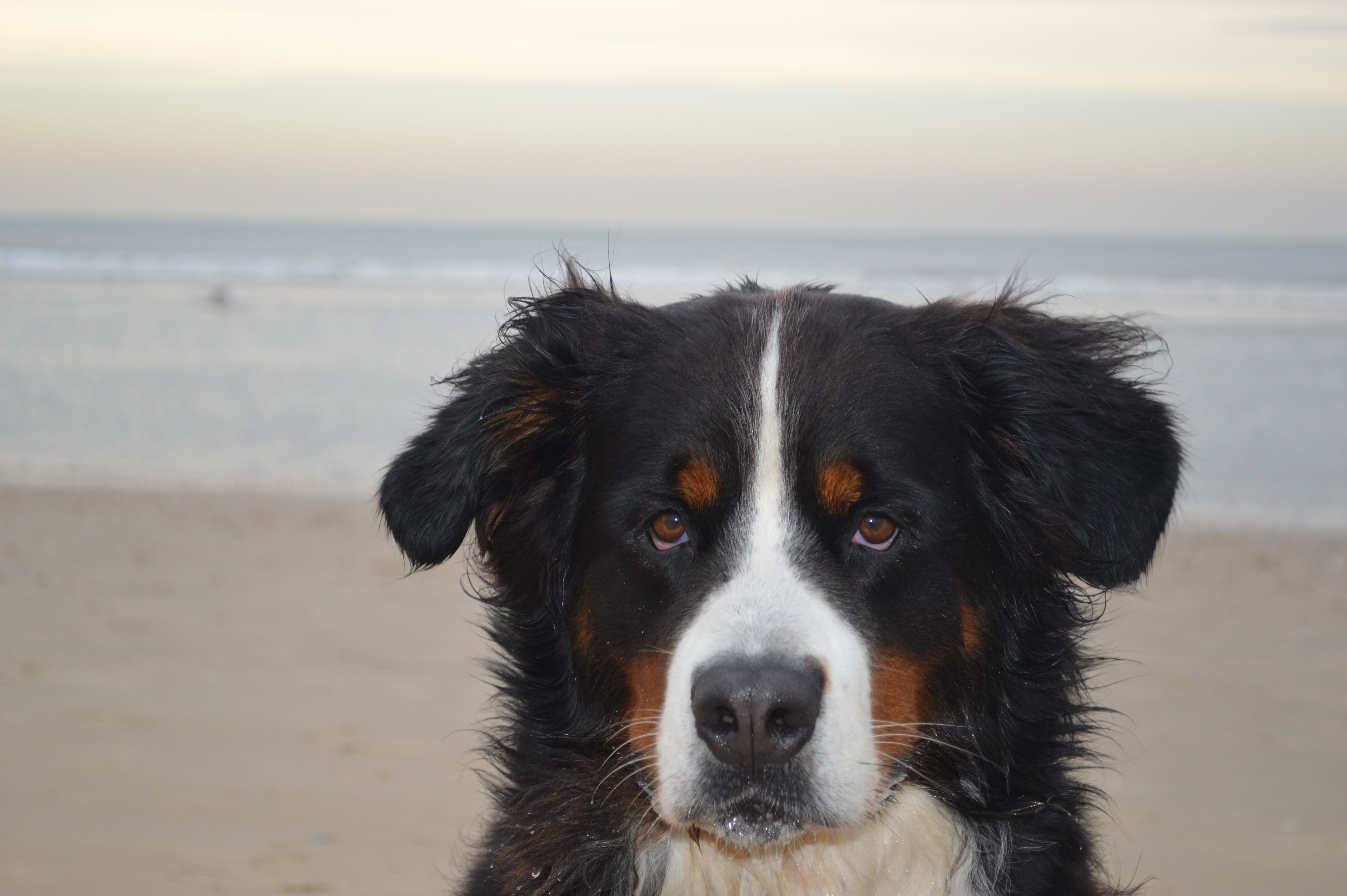 Pin by Tammy Gillespie on Beautiful Bernese mountain dogs