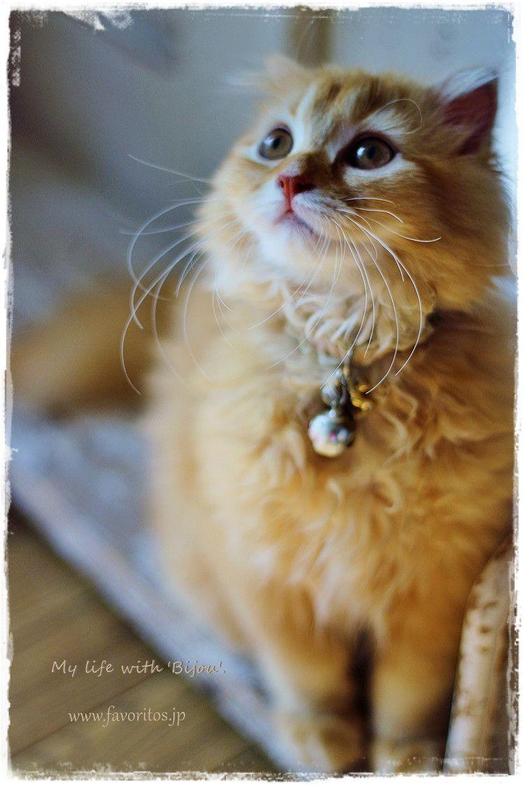 家族 ファヴォリートス フレンチシックに心地よさを感じて スコティッシュフォールド Scotishfoldcat スコティッシュフォールド 動物 ねこ