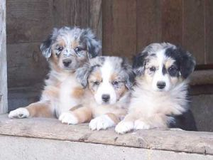 Pin By Marilyn King On Aussie Love Aussie Puppies Aussie Dogs Australian Shepherd