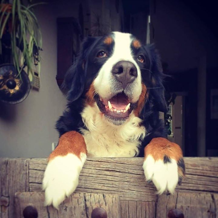 @Regrann from @jvillaes - No te vayas todavía no te vayas por favor...  #Elsa #bernese #mountaindog #pet#dogs #puppies #puppy #dogstagram #klout @capochino67 http://ift.tt/2qQSSbt #dogs #dogsofinstagram #pup #puppies #puppy #doggie #dogsareawesome #instadog #instapic #picofttheday #pets #puppydogeyes #klout @cindycapo
