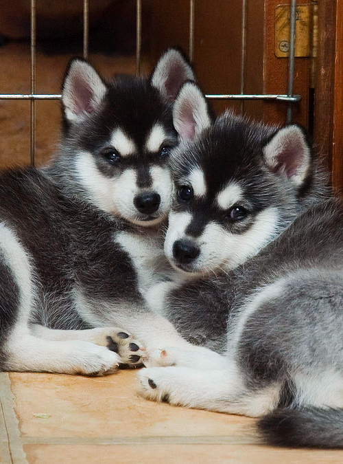 Alaskan Klee Kai Mini Husky Sled Dog Theyre Like Huskies That Stay