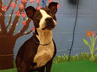Bully Love And Devotion Waco Texas Home Needed Dogs And