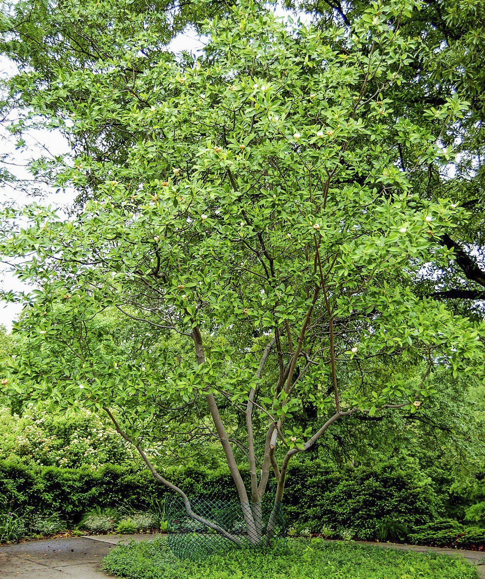 Garden trees for screening  Top  FastGrowing Trees  Birds u Blooms Magazine  garden