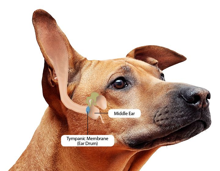 Dog ear infections natural remedies that work dogs