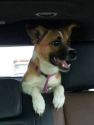 Wally is an adoptable Corgi Dog in Crown Point, IN. Wally has a smile that can lite up your day. Hes small and as cute as can be. He would make anyone happy! For more information on Wally please Emai...