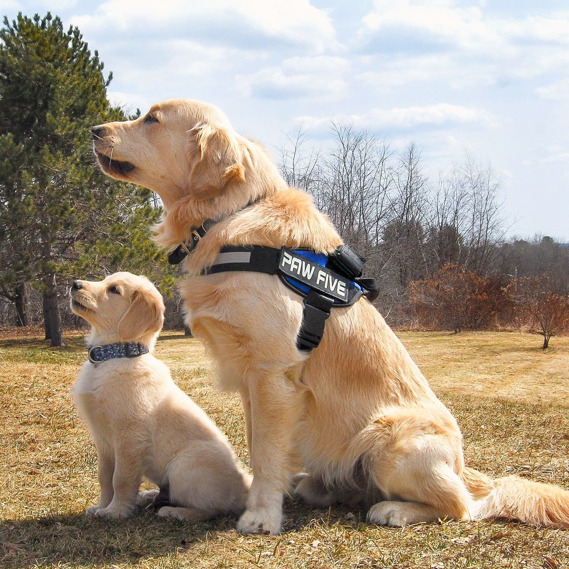 Golden Retriever Brothers Jax Is 1 1 2 Years Old And Jasper Is 11