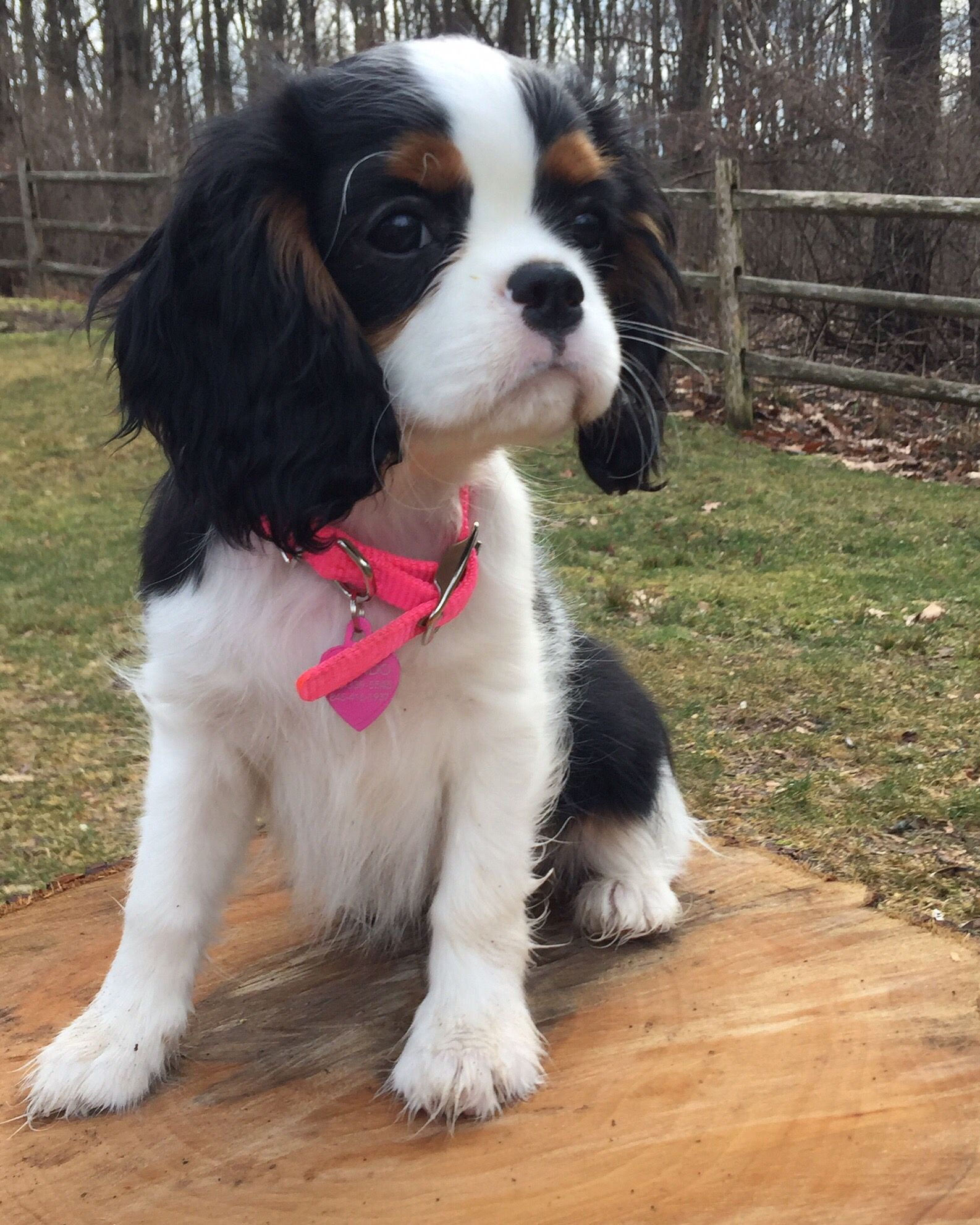 This Is Our 12 Week Old Puppy Her Name Is Taylor And She Is A Cavaler King Charles Spaniel King Charles Spaniel King Charles Cavalier Spaniel Puppy